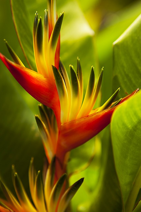 Above Photograph - Heliconia by Dana Edmunds - Printscapes