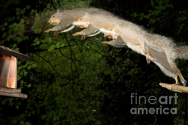 North American Fauna Photograph - Jumping Gray Squirrel by Ted Kinsman
