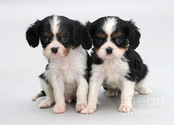 Animal Photograph - King Charles Spaniel Puppies by Jane Burton