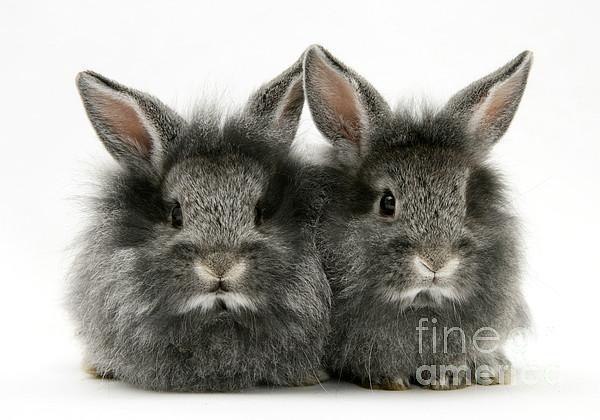Animal Photograph - Lionhead Rabbits by Jane Burton