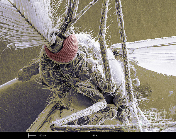 Mosquito  - Male Mosquito by Ted Kinsman