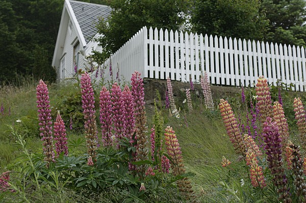 Nobody Photograph - Norway, Hidra, Lupins And Lilies by Keenpress