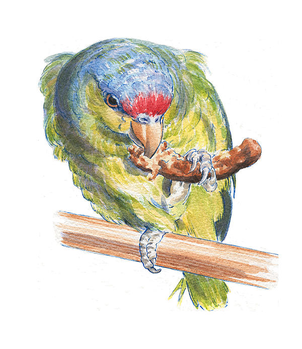 Parrot Painting - Parrot Eating Toast by Maureen Carter