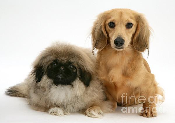 Animal Photograph - Pekingese And Dachshund Puppies by Jane Burton