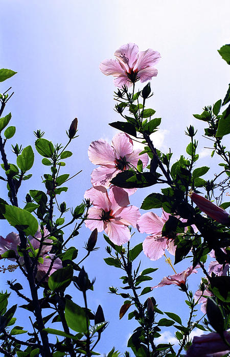 Backlit Photograph - Pink Hibiscus by Kevin Smith
