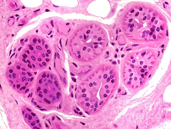 Light Microscopy Photograph - Primate Sweat Gland by M. I. Walker