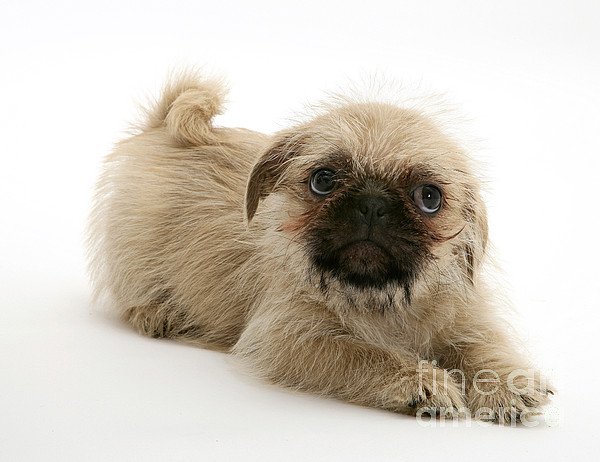 Animal Photograph - Pugzu And Pug Puppies by Jane Burton