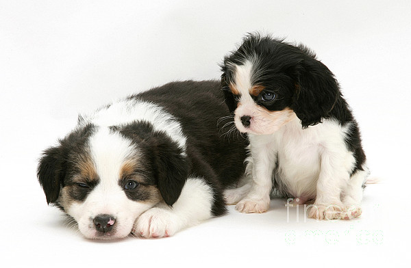 Animal Photograph - Puppies by Jane Burton