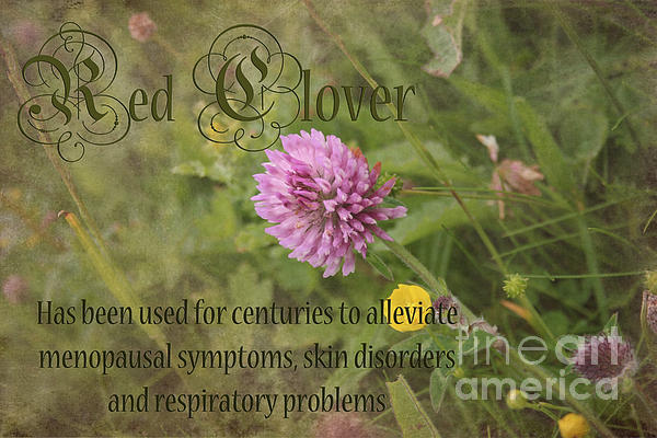 Red Clover Photograph - Red Clover by Carole Lloyd