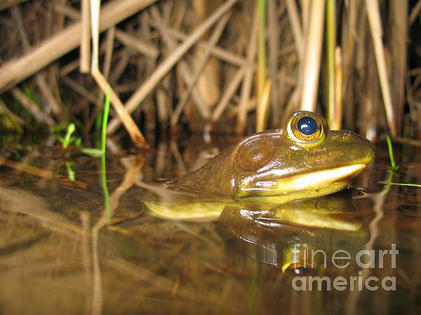 Fauna  - Resting Bullfrog by Ted Kinsman