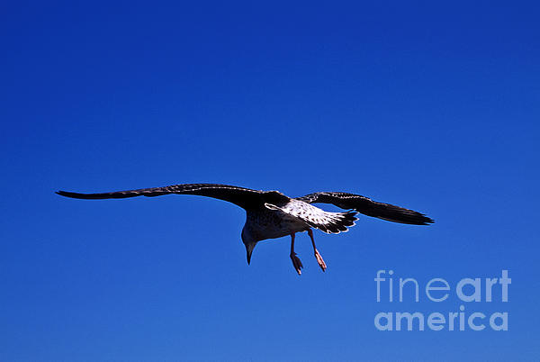 Animal Photograph - Seagull In Flight by John Greim