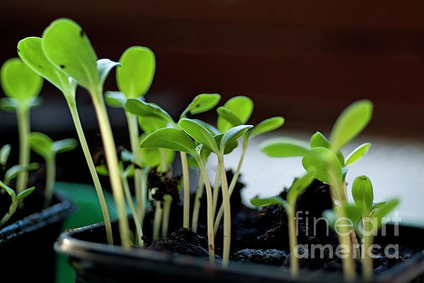 Beginnings Photograph - Seeding Shoots by Sami Sarkis