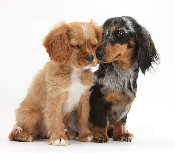 Animal Photograph - Spaniel & Dachshund Puppies by Mark Taylor