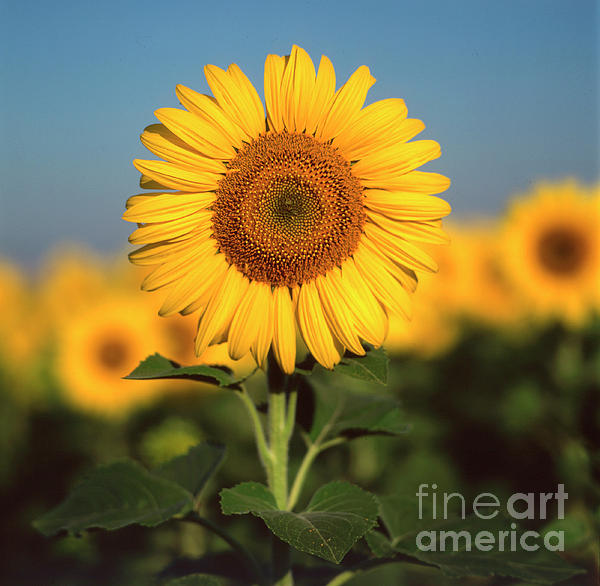 Auvergne Puy De Dome France Agricultural Agriculture Crop Cultivate Cultivation Rural Countryside Sunflower Field Plant Oil Yellow Flowers Close Up Summer Vertical Photograph - Sunflower by Bernard Jaubert