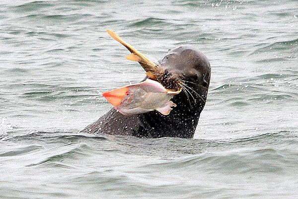 Sea Lion Photograph - The Battle Begins by Fraida Gutovich