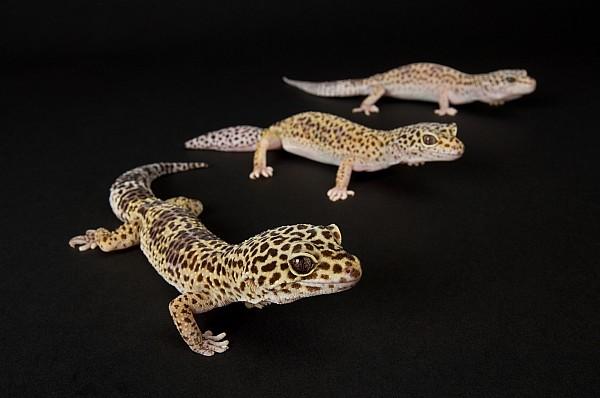Nobody Photograph - Three Female Leopard Geckos Eublepharis by Joel Sartore