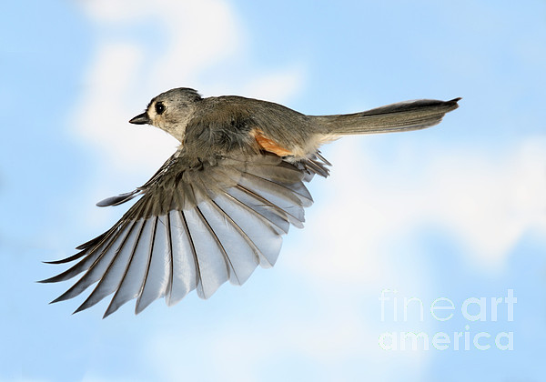 Songbirds Photograph - Tufted Titmouse In Flight by Ted Kinsman