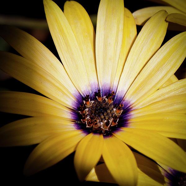 Daisy Photograph - Yellow Daisy by David Patterson