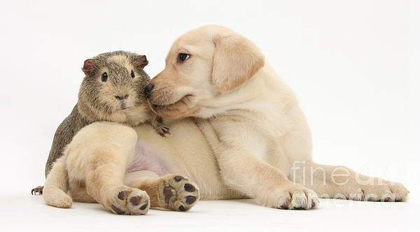 Animal Photograph - Puppy And Guinea Pig by Mark Taylor