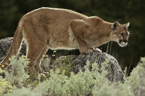 North America Photograph - A Mountain Lion, Felis Concolor by Jim And Jamie Dutcher