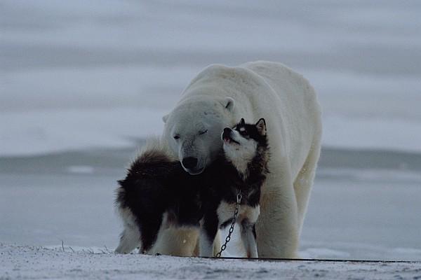 North America Photograph - A Polar Bear Ursus Maritimus by Norbert Rosing
