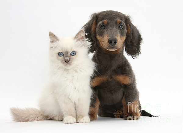 Dog Photograph - Blue-point Kitten & Dachshund by Mark Taylor