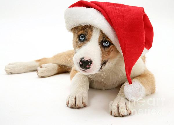 Animal Photograph - Border Collie Puppy by Jane Burton