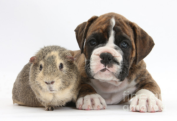 Boxer Photograph - Boxer Puppy And Guinea Pig by Mark Taylor