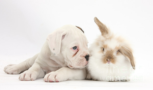 Boxer  - Boxer Puppy And Young Fluffy Rabbit by Mark Taylor