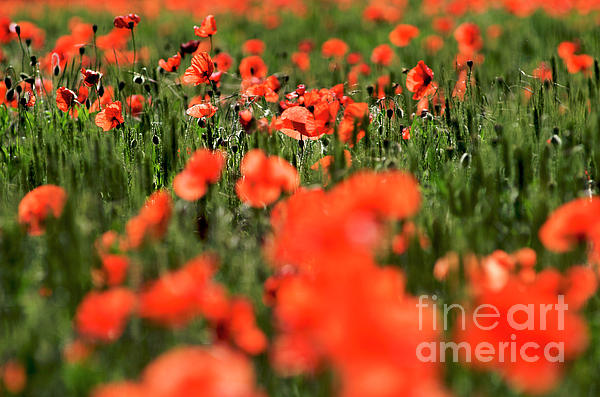 Outdoors Photograph - Field Of Poppies. by Bernard Jaubert