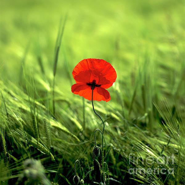 Outdoors Photograph - Field Of Wheat With A Solitary Poppy. by Bernard Jaubert