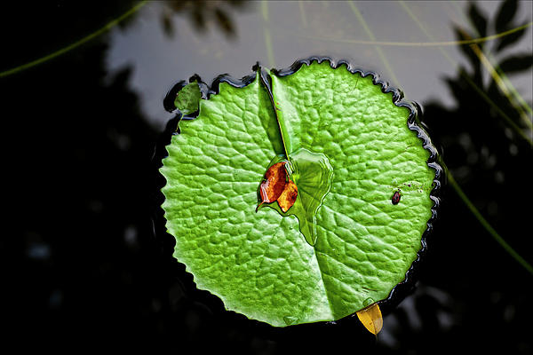 Water Lily Photograph - Lily Pad by Robert Ullmann