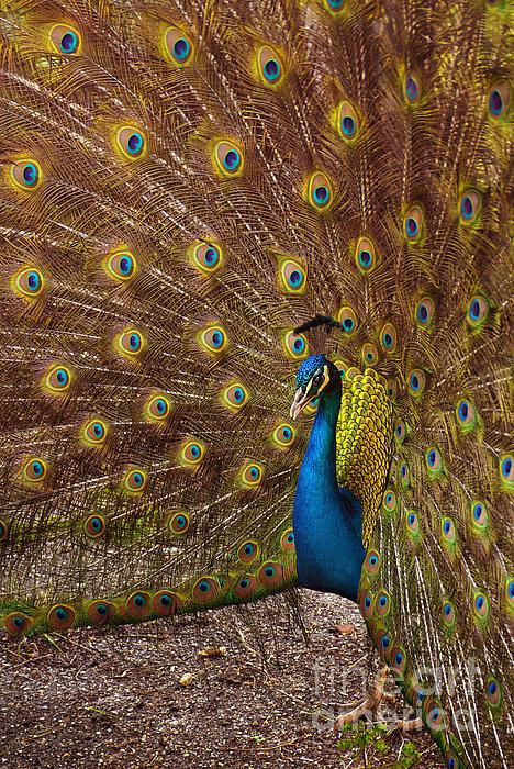 Animal Photograph - Peacock by Carlos Caetano