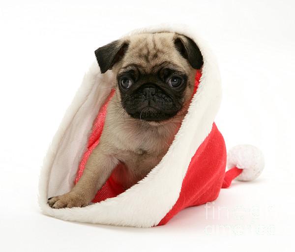 Animal Photograph - Pug Puppy by Jane Burton