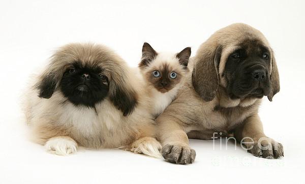 Animal Photograph - Puppies And Kitten by Jane Burton