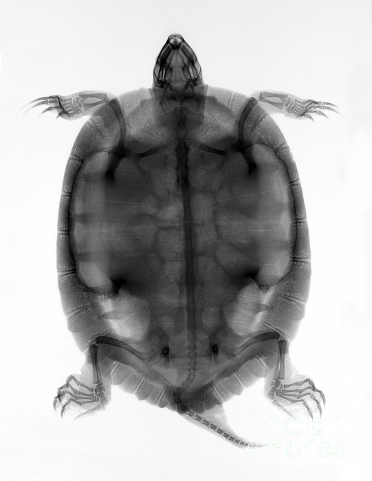 Radiograph Photograph - Red-eared Slider Turtle X-ray by Ted Kinsman