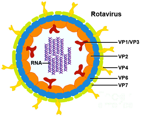 Microbiology Photograph - Rotavirus by Science Source