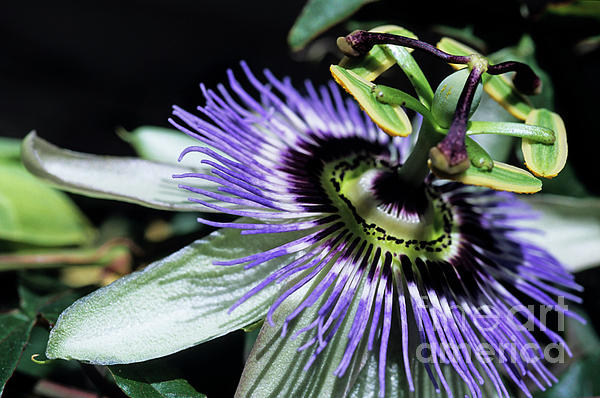 Beautiful Photograph - Stamen Of A Passionflower by Sami Sarkis
