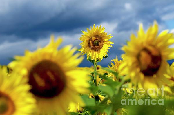 Puy De Dome Photograph - Sunflowers by Bernard Jaubert