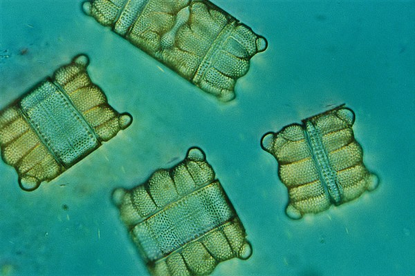 Diatoms Photograph - Close View Of Diatoms by Darlyne A. Murawski
