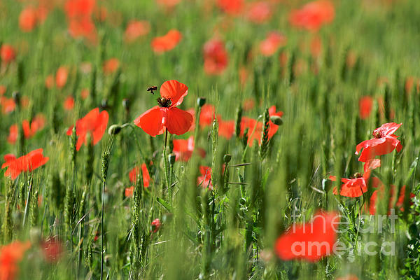 Outdoors Photograph - Field Of Poppies. by Bernard Jaubert