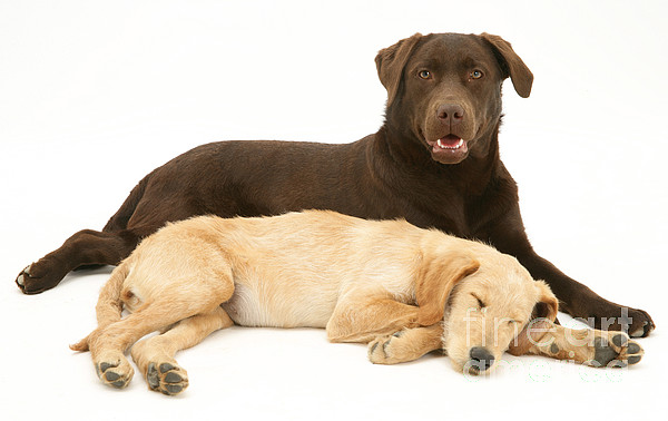 Animal Photograph - Labradoodle And Labrador Retriever by Jane Burton