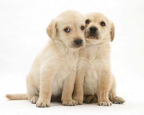 White Background Photograph - Labrador Retriever Puppies by Jane Burton