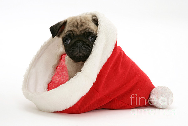 Animal Photograph - Pug Puppy by Jane Burton