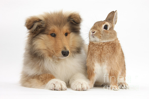 Fauna Photograph - Rough Collie Pup With Rabbit by Mark Taylor