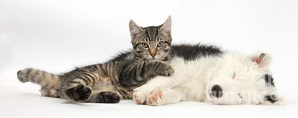 Animal Photograph - Tabby Kitten & Border Collie by Mark Taylor