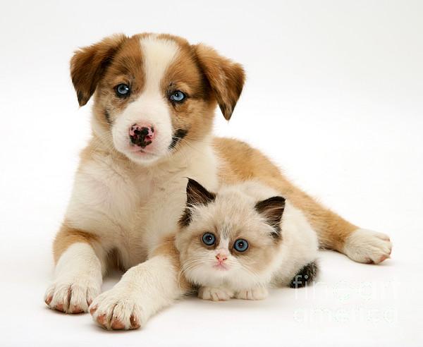 Domestic Photograph - Border Collie And Birman-cross Kitten by Jane Burton