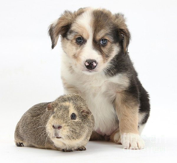 Nature  - Border Collie Pup And Guinea Pig by Mark Taylor