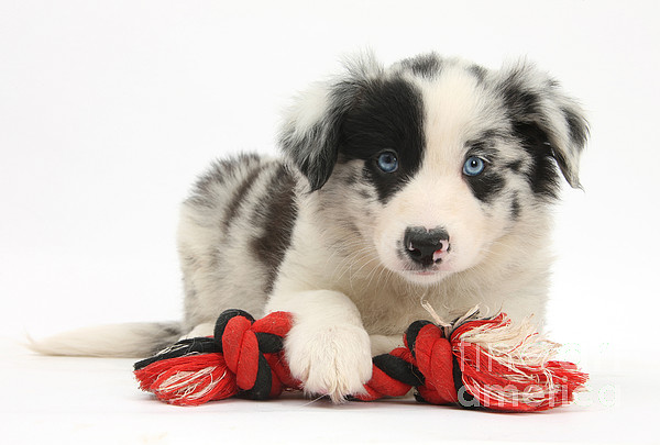 Dog  - Border Collie Pup by Mark Taylor
