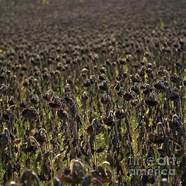 Agriculture Photograph - Field Of Sunflowers by Bernard Jaubert